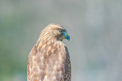 The red-tailed hawk is a bird of prey that breeds throughout most of North America, from the interior of Alaska and northern Canada to as far south as Panama and the West Indies. It is one of the most