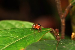 The Red Tiny Jumping Spider on the green leaf