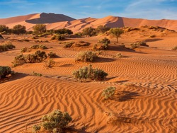 The red, windswept sand of Sossusvlei in the Namib Desert, Namibia, where vegetation has adapted to survive the harsh conditions. The large sand dune known as Big Daddy, is in the background.