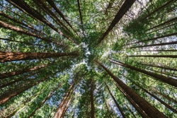 The redwoods forest, rotorua, north island, New Zealand. Tall trees. Forest image. Natural landscape image of jungle. Ant eye view