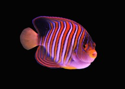 The regal angelfish (royal angelfish) on isolated black background. Pygoplites diacanthus is a species of marine angelfish of the family Pomacanthidae.