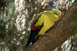 the regent parrot is a light yellowish bird with an orange beak