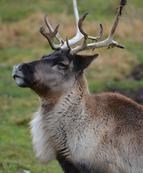 The reindeer, caribou in North America is a species of deer, native to arctic, subarctic, tundra, boreal, and mountainous regions of northern Europe, Siberia, and North America.