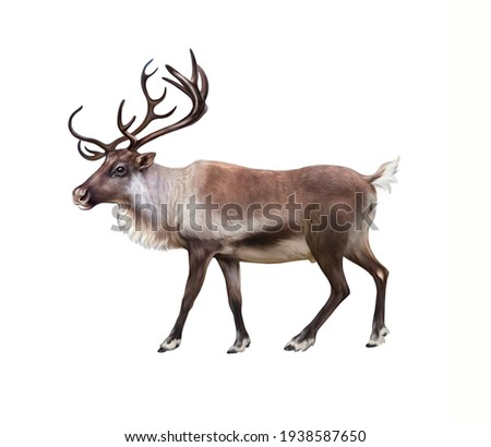 The reindeer (Rangifer tarandus), realistic drawing, illustration for the encyclopedia of animals of the arctic, inhabitants of the tundra, isolated image on a white background Stock photo ©