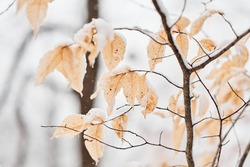 The remaining fall foliage covered with the first snow