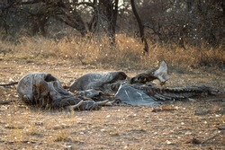 The remains of an Elephant carcass, a week after being killed in a fight, in South Africa