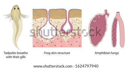 The respiratory system change from tadpoles to adult frogs. Amphibian lungs, Frog skin structure, Tadpoles gills Stockfoto ©