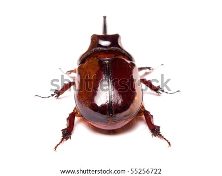 The rhinoceros beetles or rhino beetle are a subfamily of beetles in the family of scarab beetles (Scarabaeidae)