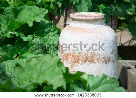 The rhubarb patch, rhubarb leaves with an earthenware pot in the sunlight