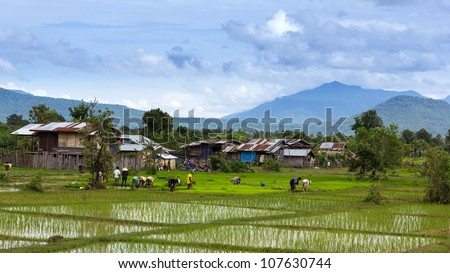 The rice farm in loas local