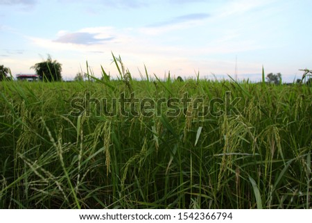The rice fields are emerging in the fields.