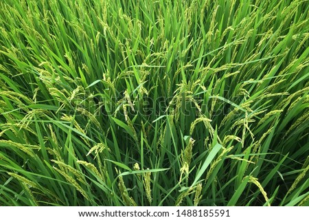 The rice fields in the fields are producing abundance.