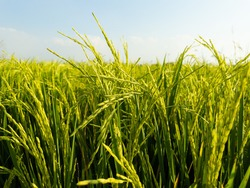The rice plant with the green ears of rice is growing.