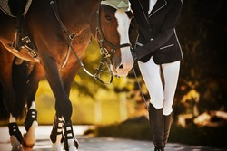 The rider leads her beautiful bay horse by the bridle rein along the road among the leaves of trees on a sunny, warm autumn day. Equestrian sports. Equestrian life.
