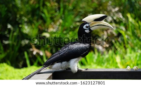 The 0riental pied hornbill (Anthracoceros albirostris) is an Indo-Malayan pied hornbill, a large canopy-dwelling bird belonging to the family Bucerotidae.