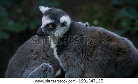 The ring-tailed lemur closeup portrait in foliage. Cute fluffy lemurs sit together