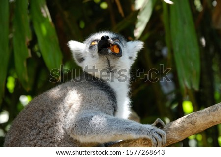 The ring-tailed lemur is a large strepsirrhine primate and the most recognized lemur due to its long, black and white ringed tail.  Like all lemurs it is endemic to the island of Madagascar.
