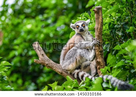 The ring-tailed lemur (Lemur catta)