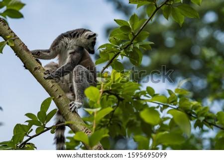 The ring-tailed lemur (Lemur catta) climbing on the tree.