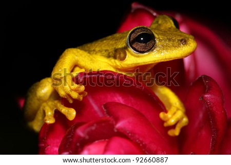 The Rio Negro Snouted Treefrog (Scinax chiquitanus) nestled in a pink flower in the Peruvian Amazon