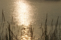 the ripples of sunshine over the river with dark silhouettes of dried grass and a duck floating on it