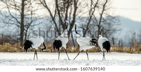 The ritual marriage dance of cranes. The red-crowned cranes. Scientific name: Grus japonensis, also called the Japanese crane or Manchurian crane, is a large East Asian Crane.