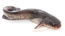 The river catfish isolated on a white background.