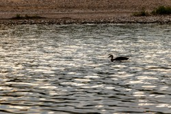 The river surface at dusk and a duck
