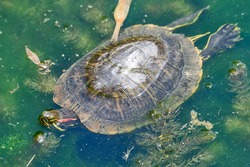 The river turtle swims in the lake