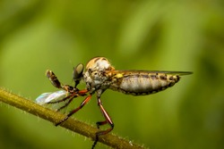 the robber fly insect or Asilidae is an aggressive family of flies. macro photo of predatory insects in the wild