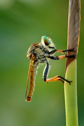 The Robber Fly is one of the most powerful and deadly predatory flies. Although it bears the name flies, robber flies are very different from other flies.