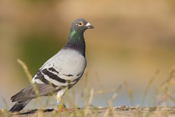 The rock dove, rock pigeon (Columba livia). Middle size bird standing on edge of lake. Gray body, dark head with glittering green neck details. Sunny summer weather. Scene from wild nature. Slovakia.