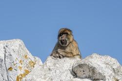 The Rock of Gibraltar -   Barbary macaque