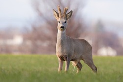 The roe deer (Capreolus capreolus). Adult roe deer with beautiful winter fluffy brown fur and with velvet antlers. Deer standing on green meadow. Cold winter weather. Diffuse background.  Europe.