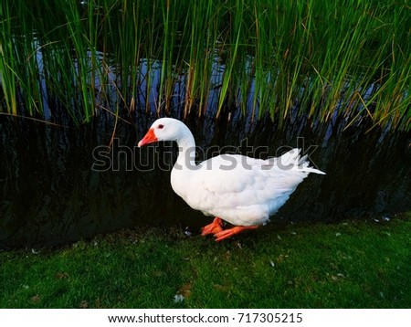 The Roman goose is an Italian breed of domestic goose. It is said to be one of the oldest breeds of goose. It is primarily kept as a utility meat breed.