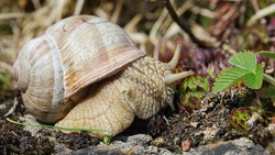 The Roman snail ( Helix pomatia ) is one of Europe's biggest species of land snail.