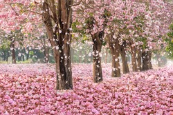 The romantic tunnel of pink flower trees with falling petals covering the ground.