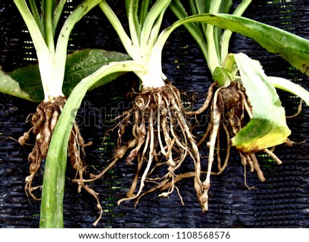 The root knot of a herb plant  caused by nematode which is a parasite on plant.It is called root knot nematode disease.