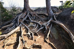 The roots of an old tree that is intricately intertwined on the mountain