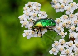 The rose chafer, the green rose chafer