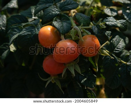The Rose Hip or Rosehip, also called Rose Haw and Rose Hep. Fruit of the rose plant. Stock photo ©