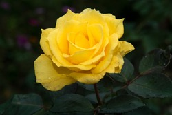 The rose is a type of flowering shrub. Its name comes from the Latin word Rosa. The flowers of the rose grow in many different colors, from the well-known red rose or yellow roses and sometimes white