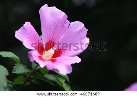 The Rose of Sharon is regarded as the national flower of Korea.