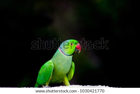 Shutterstock The rose-ringed parakeet, also known as the ring-necked parakeet, is a gregarious tropical Afro-Asian parakeet species that has an extremely large range. The rose-ringed parakeet is sexually dimorphic