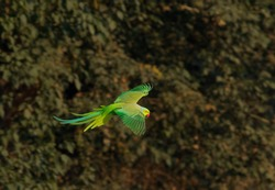 The rose-ringed parakeet, also known as the ring-necked parakeet, is a medium-sized parrot in the genus Psittacula, of the family Psittacidae