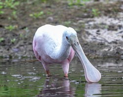The roseate spoonbill (Platalea ajaja) is a gregarious wading bird of the ibis and spoonbill family, Threskiornithidae. It is a resident breeder in South America and in coast of Florida.