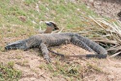 the Rosenberg lizard is a large grey and cream lizard