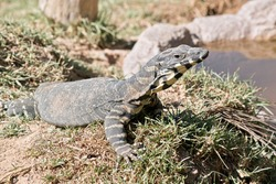 the rosrnberg lizard is a large grey and cream lizard in Australia