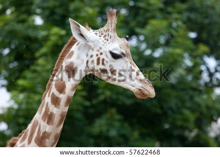 The Rothschild Giraffe (Giraffa camelopardalis rothschildi) also known as the Baringo Giraffe in the London Zoo