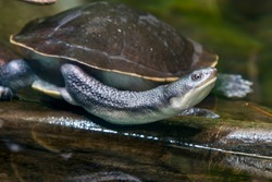 The Roti Island snake-necked turtle (Chelodina mccordi ) is a critically endangered turtle species from Rote Island in Indonesia. The color of the carapace is a pale grey brown.